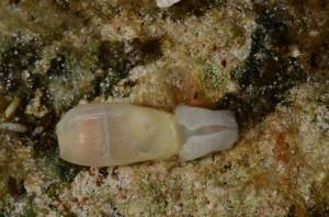 The sacoglossan Ascobulla ulla; Eulethera I., The Bahamas
