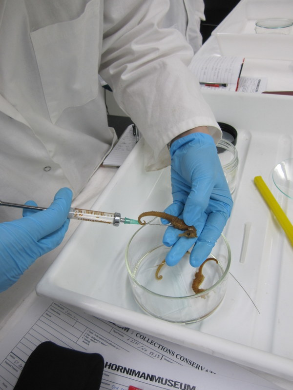 Injecting alcohol in dessiccated specimens to help them rehydrate (and sink).
