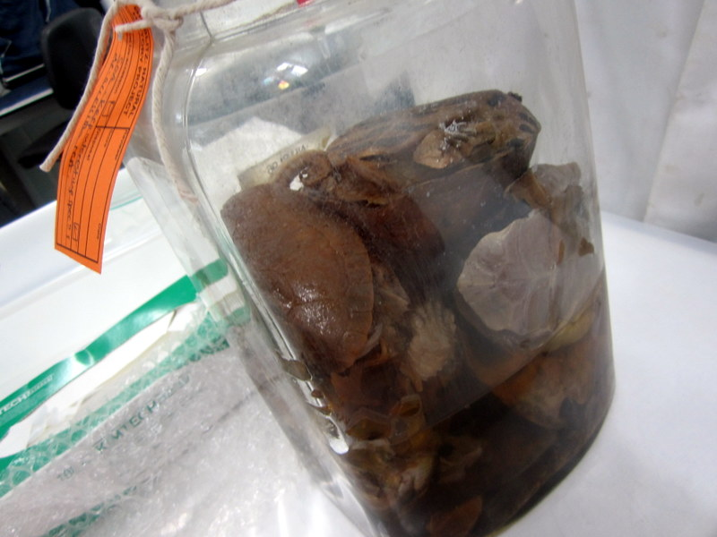 A jar stuffed full of turtles and tortoises in really bad condition - we tried to salvage as much as possible, especially one specimen that was of a species they didn't have in the museum collection.