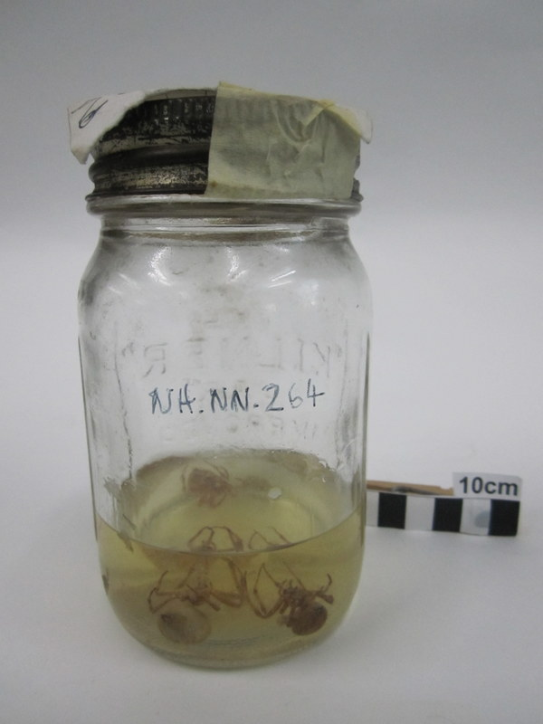A fairly messy jar with spiders (with varying numbers of legs still attached) and a tick