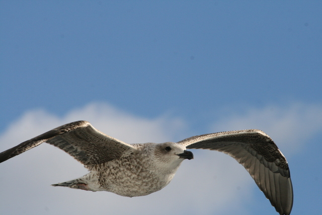Fulmars and gulls are alos following us, hoping we'll give up on the small animals and start catching fish for them
