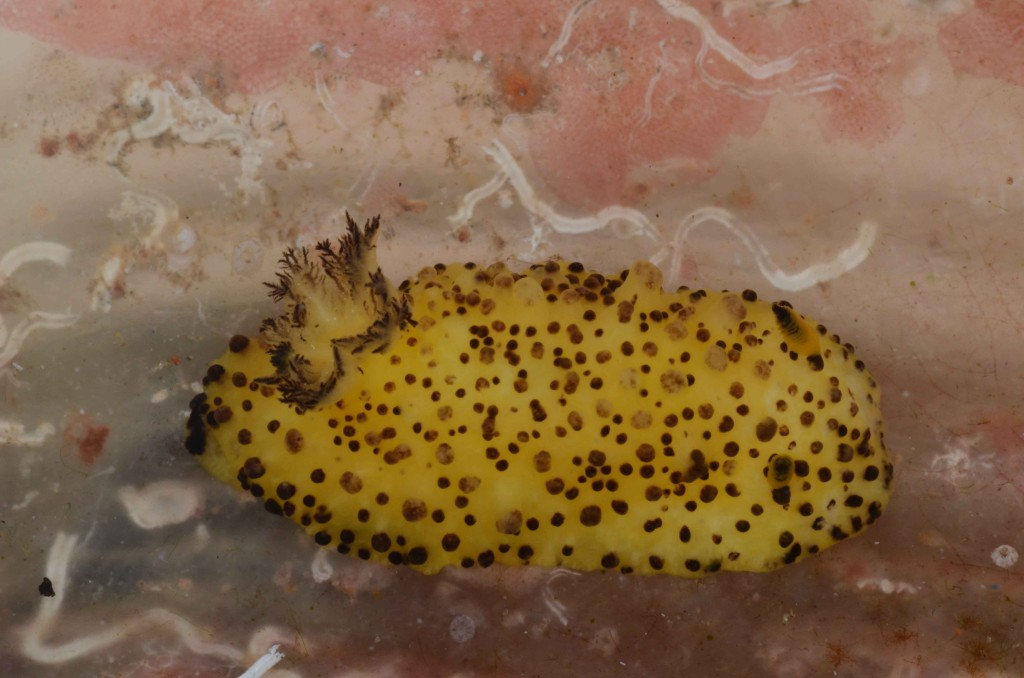 An undescribed species of Doris nudibranch (Barra reefs, Inhambane, Mozambique)