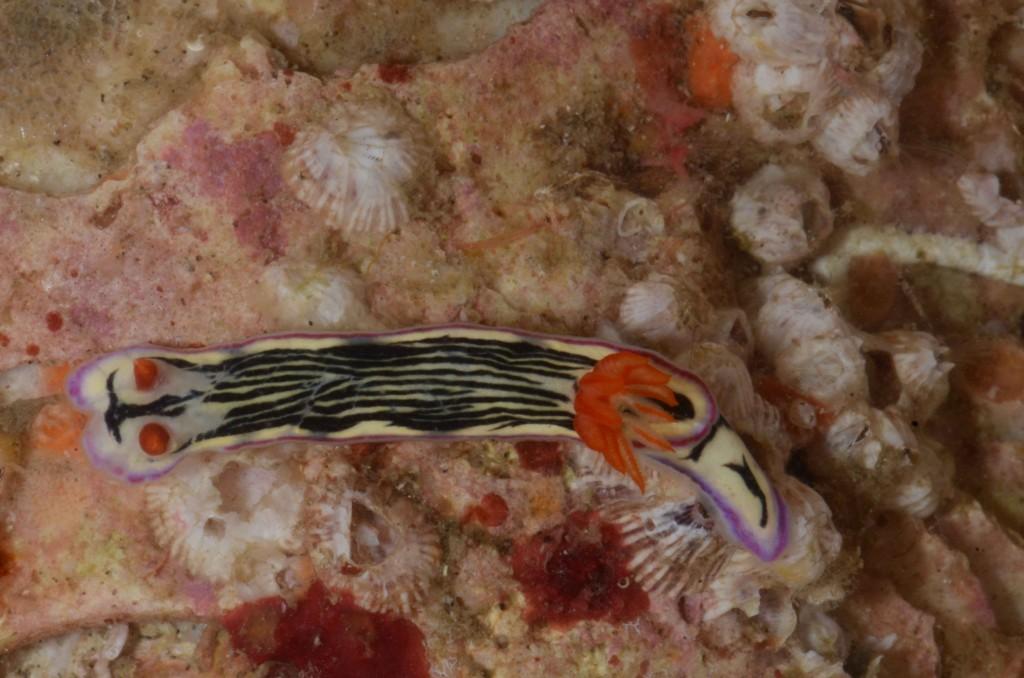 Hypselodoris nigrolineata (Zavora, Inhambane)