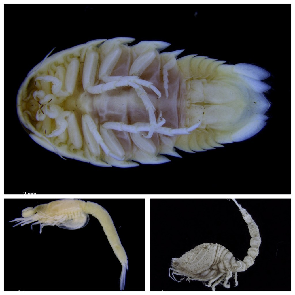 ..and one plate with Cumacea (bottom right), Mysida (bottom left) and Isopoda (top)