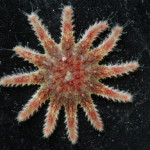 Crossaster papposus (?)