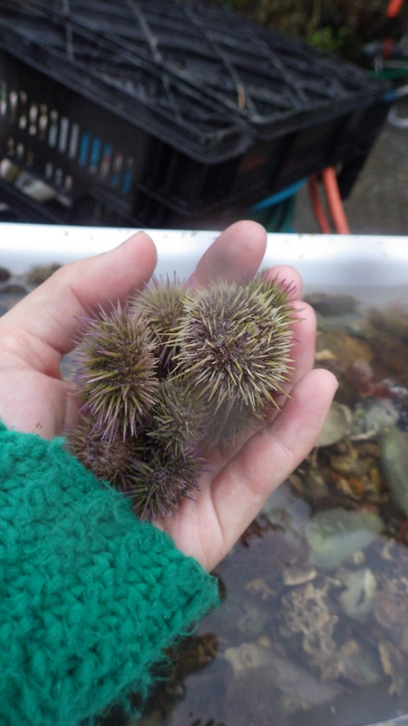 Sea urchins en masse