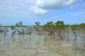 Mangroves at Summerland Key