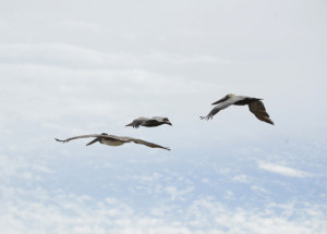 Pelicans, a daily presence in the Keys