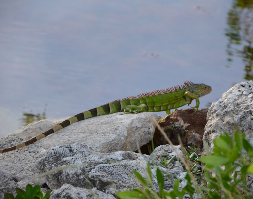 The iguana is an exotic species very common in the Keys