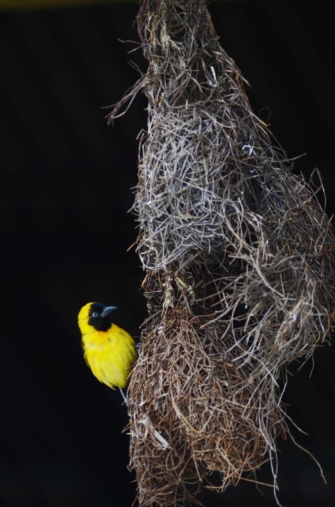 A weaver bird. Vamizi Island.