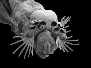 Heads-on view of a Ampicteis ninoae in a SEM