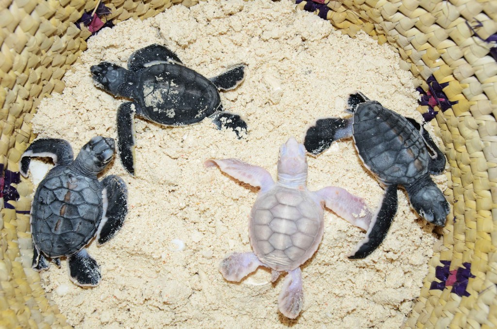 Baby green turtles recovered from a damaged nest, with a rare case of albinism in this group of reptiles.