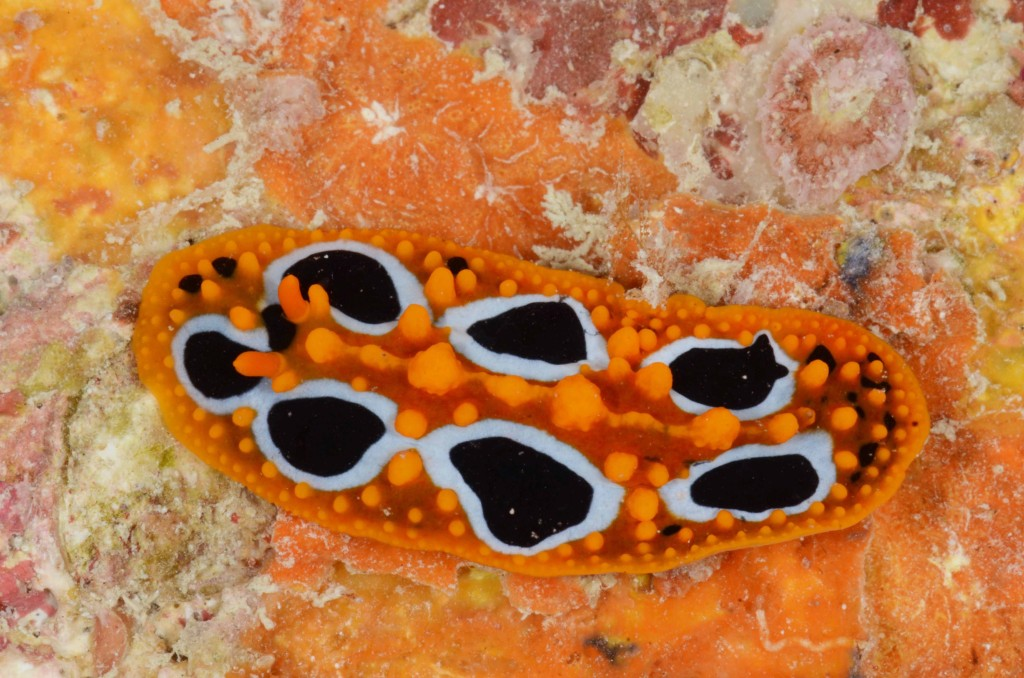 Phyllidia ocellata. Vamizi Island