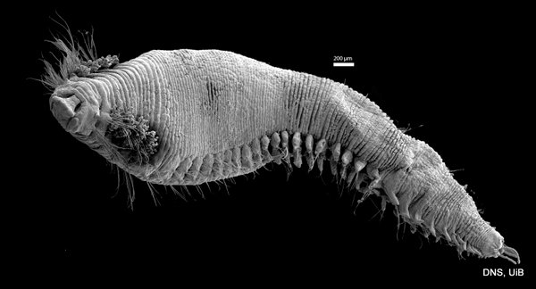 Scanning electron microscope photo of a Scalibregmatidea Photo K Kongshavn © UiB