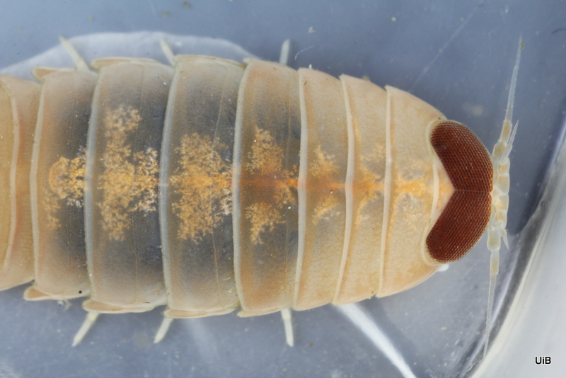 A parasitic isopod in the genus Aega