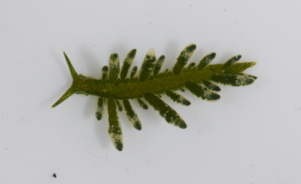 Ercolania sp. after removal from algae (Photo: M. Malaquias)