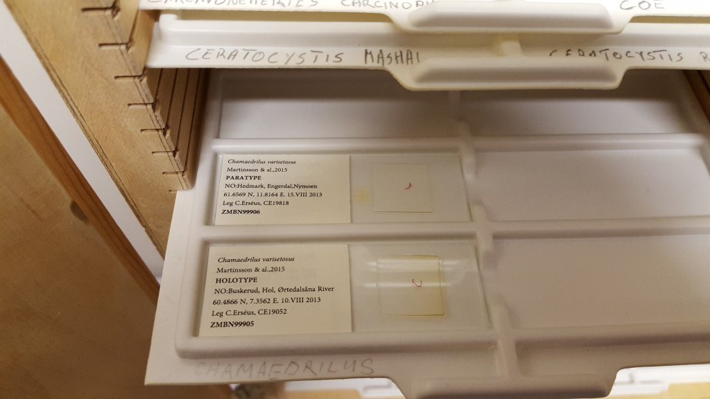 Type specimen on microscopy slides are kept in special cabinets. This shows the Holotype and Paratype of the small worm Chamaedrilus varisetosus, which was described for the first time by a group of Swedish and Italian researchers this year (Martinsson, Rota, Erséus (2015): ZooKeys 501: 1–14. doi: 10.3897/zookeys.501.9279) (Photo: E.Willassen)