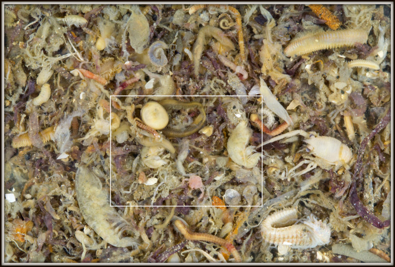 Zooming in... there are many, many animals in this particular sample! (photo: K. Kongshavn)