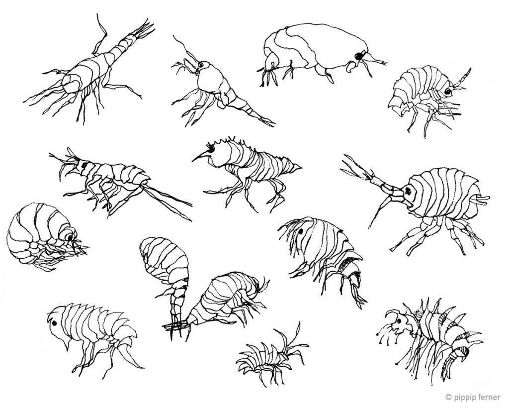 Amphipods by Pippip Ferner. Ink on paper. © Pippip Ferner Want to see more?  www.pippip.no
