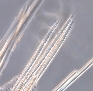 Verticilate chaetae (bristles) from one of the polycirrinae species photographed through a microscope. Photo: MHL