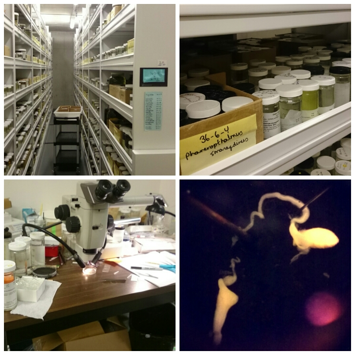 The collections (top), my dissection station (bottom left) and the male reproductive of Phanerophthalmus