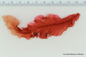 Delesseria sanguinea