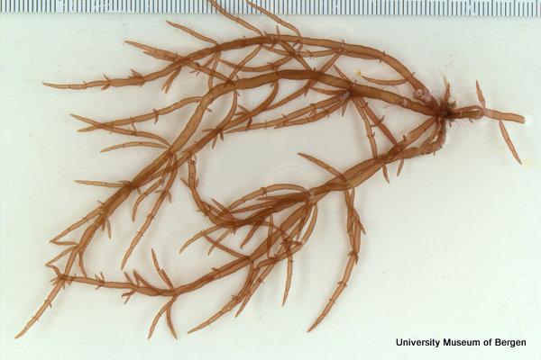 Chylocladia verticilliata