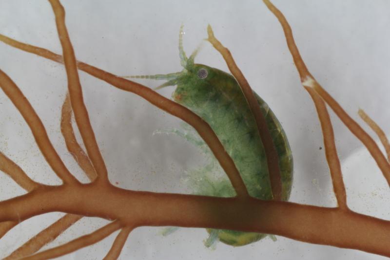 Undercover amphipod