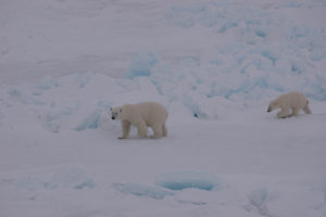 A polar bear mother and cub walking on the top of the sea ice. Photo: AHS Tandberg