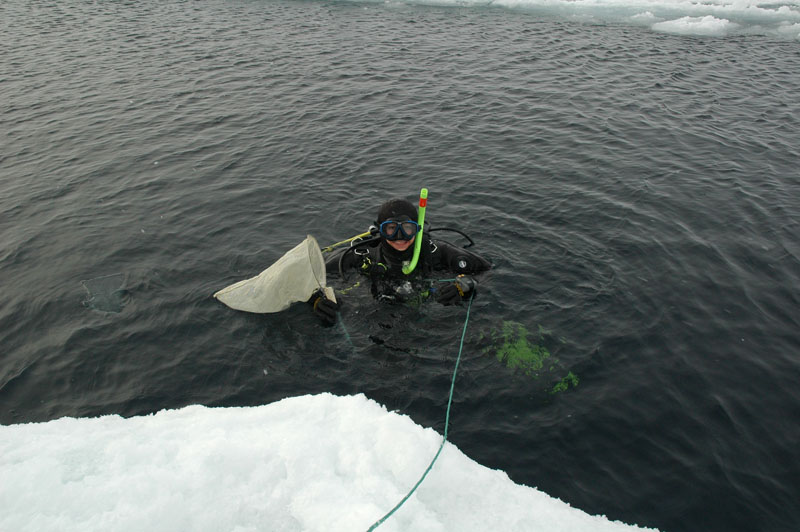 A diver gets ready to sample Gammarus wilkitzkii under the sea ice. Photo: AHS Tandberg