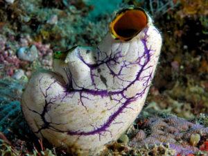 Komodo National Park sea squirt (Polycarpa aurata). Photo: Nick Hobgood (wikipedia)