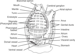 Internal anatomy of a tunicate (Urochordata). Adapted, with permission, from an outline drawing available on BIODIDAC. (Wikipedia)