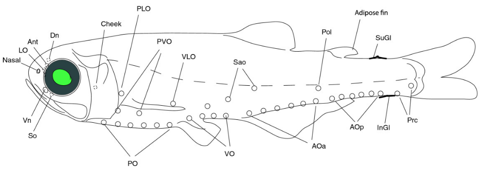 Light organs in the lantern fish Benthosema glaciale. (from Paulsen et al. 2013