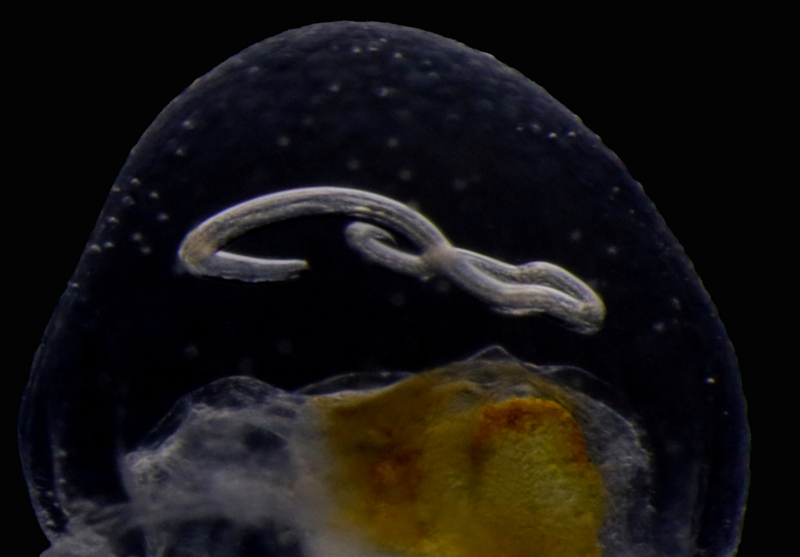 A close-up of 2 showing the parasite embedded in the mesoglea (jelly) of the host. Credit: Aino Hosia.