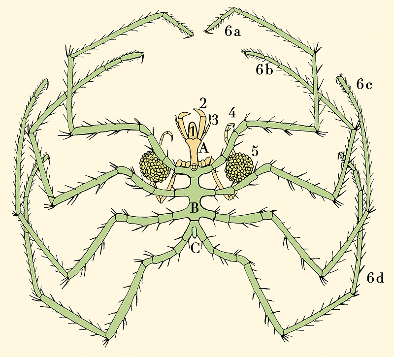 Anatomy of a pycnogonid: A: head; B: thorax; C: abdomen 1: proboscis; 2: chelifores; 3: palps; 4: ovigers; 5: egg sacs; 6a–6d: four pairs of legs Sars, G. O. (1895). An account of the Crustacea of Norway, with short descriptions and figures of all the species. Christiania, Copenhagen, A. Cammermeyer. L. Fdez (LP) – digitization and colouration.  - Own work External anatomy of Nymphon sea spider. After G. O. Sars (1895).