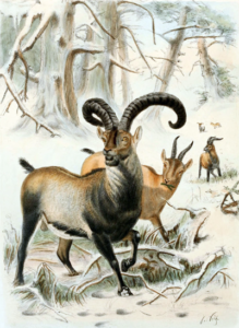 The extinct subspecies of the Pyrenean Ibex. (Source Wikipedia)