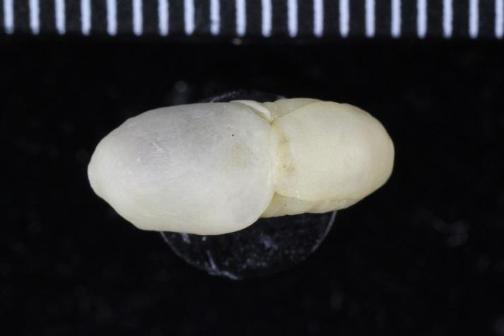 Philine specimens