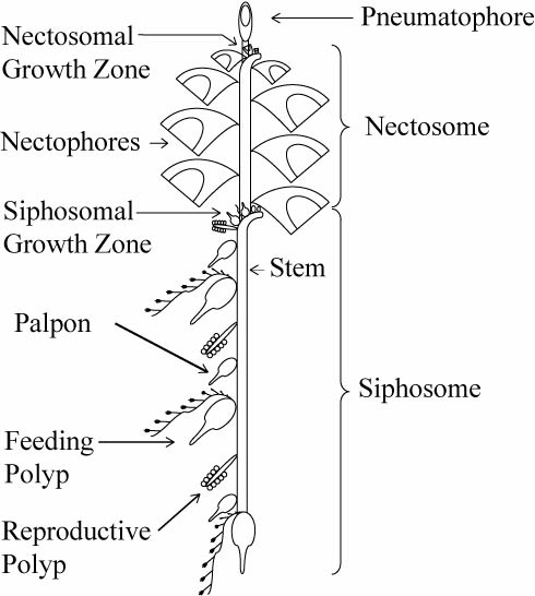 Schematic of a physonect siphonophore. From http://www.siphonophores.org (CC-by-nc-sa)