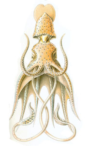 Histioteuthis bonelli by Ernst Haeckel.