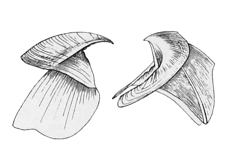 Cephalopod beak, drawing by J.H. Emerton from Wikimedia commons