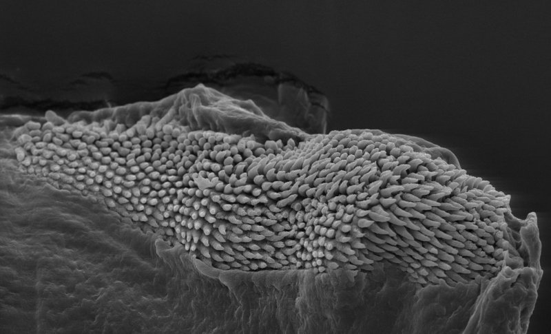 SEM-image of jaws of Phyllaplysia sp from Florida, USA