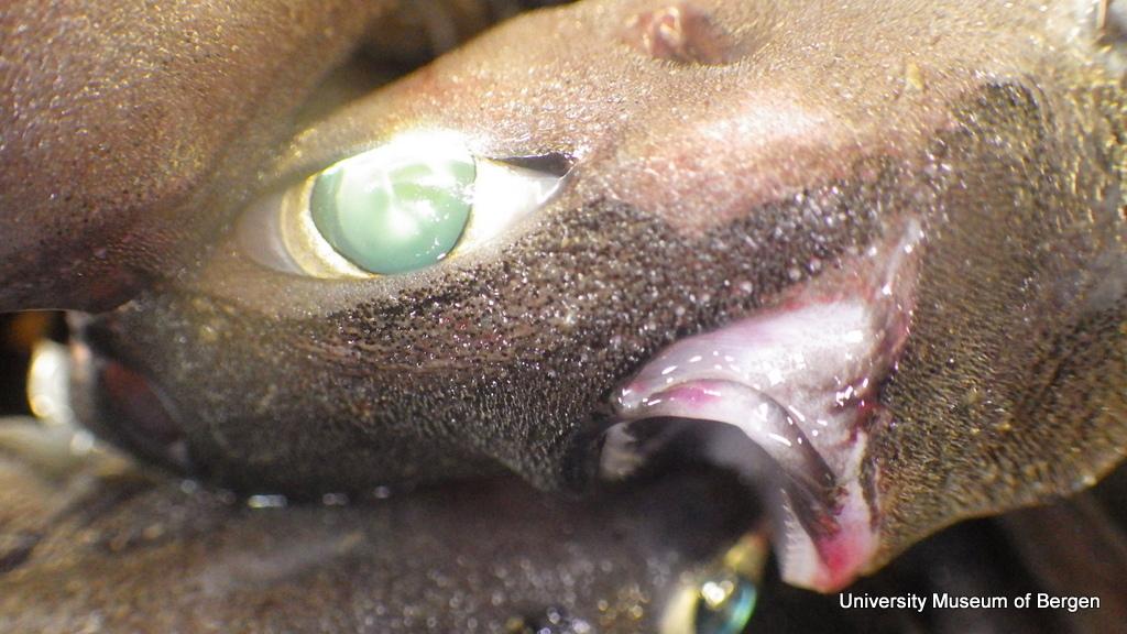 Velvet belly lanternshark, Etmopterus spinax