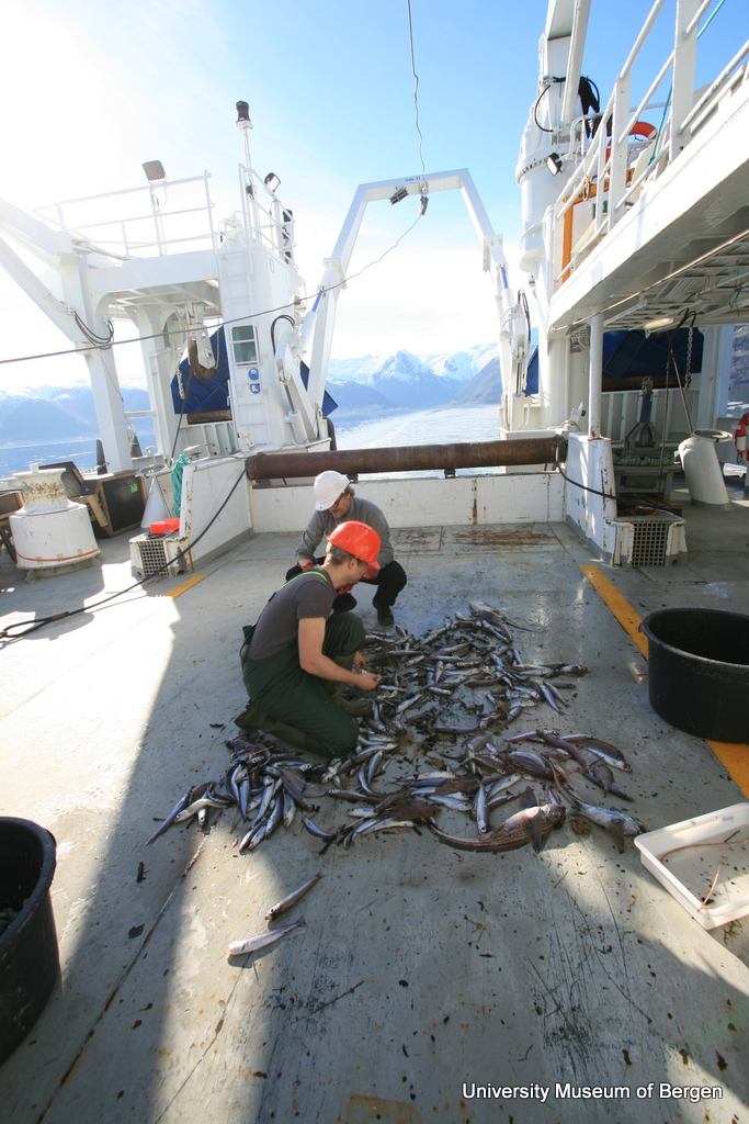 Henrik and Christoph sorting a shrimp trawl catch on deck