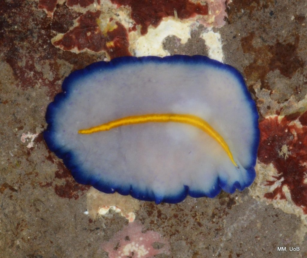 A beautiful flatworm