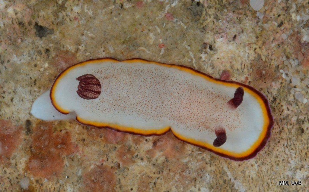 Goniobranchus cf. sinensis