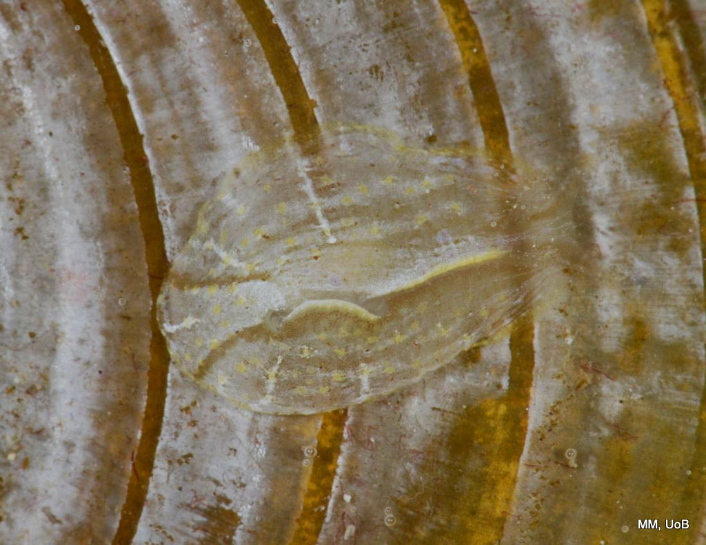 Phyllaplysia lafonti on the brown algae Padina.