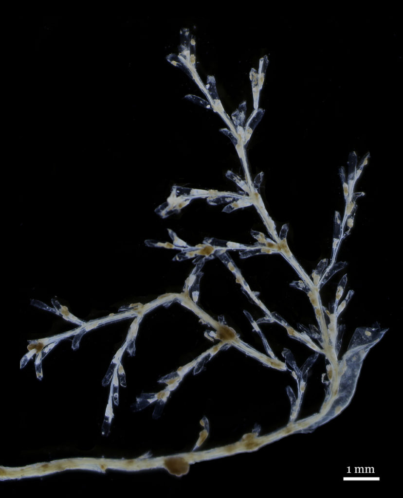 Hydroids of Stegopoma plicatile (like this one) from all over the world look very similar to each other, but may produce very different medusae.